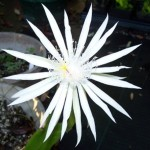 Epiphyllum oxypetalum Queen of the Night Cactus